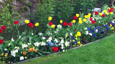 tulips Napa