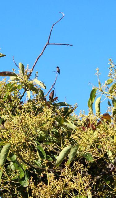 hummingbird-in-avocado-tree