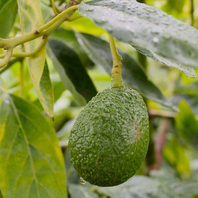 avocado in the rain
