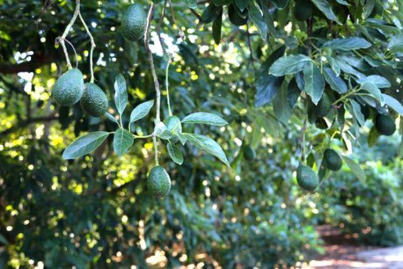 avocados growing bigger