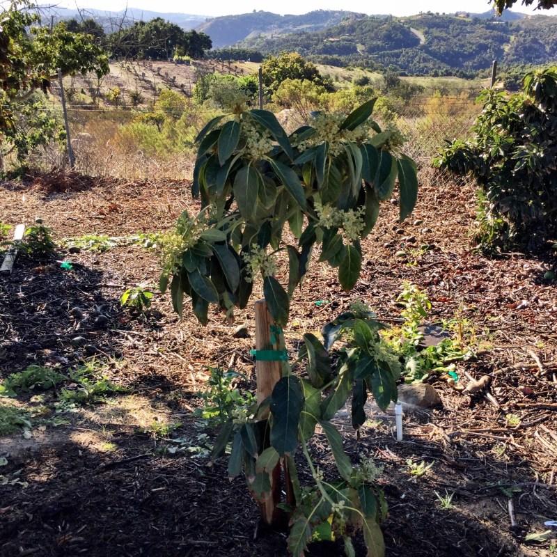 blooming baby avocado tree