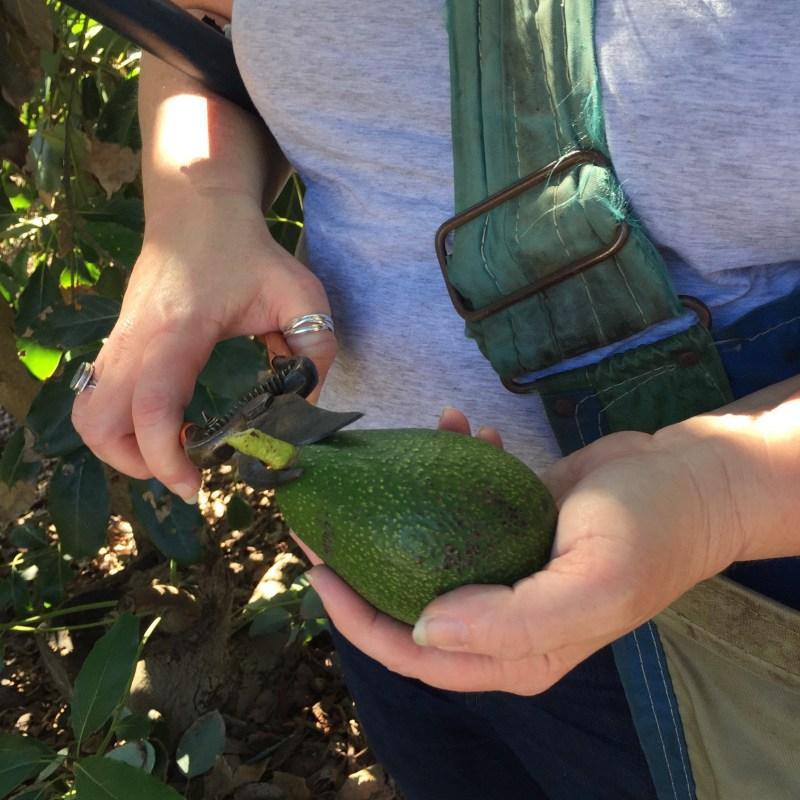 clip avocado stem