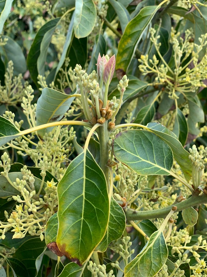 Buds become blossoms on avocado trees
