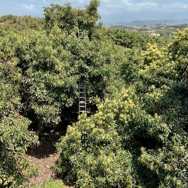 Picking Fuerte avocados