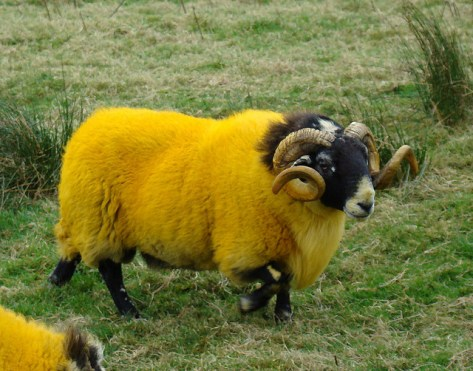 YELLOW_SHEEP