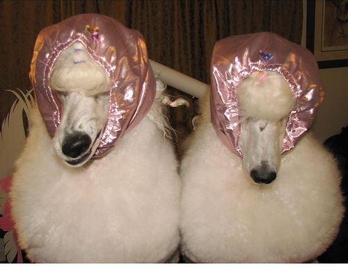 poodles at the hairsalon
