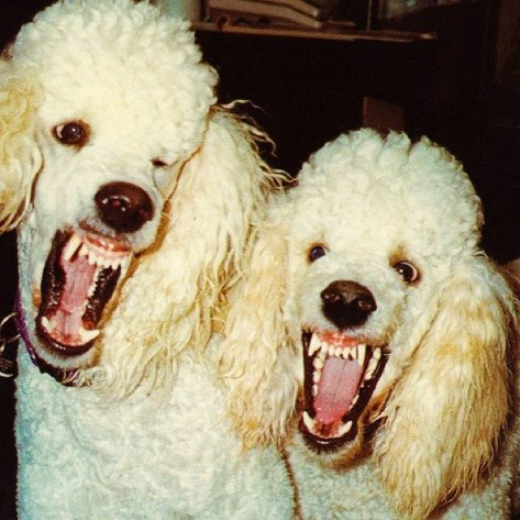 angry poodles