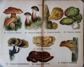mimiberlin_poisenous_mushrooms_vintage_flora-07889