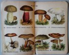mimiberlin_poisenous_mushrooms_vintage_flora-07894