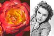 Judy Garland A multihued floribunda rose with an apple-and-rose fragrance, bred in Great Britain by Harkness in 1977. Photo: Rich Baer; Silver Screen Collection/Getty Images