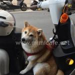 台湾の同伴出勤事情?バイクには犬。