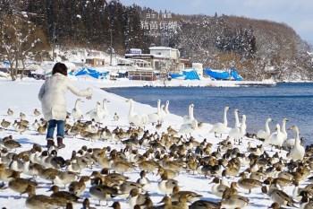 【福島景點】豬苗代湖&交通資訊:冬季必遊絕美の白鳥湖,優美天鵝號觀光船這樣玩