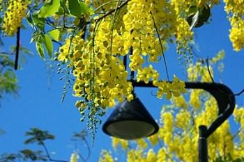【台南.安平】阿勃勒花季:府城酷熱的五月,又到了飄下黃金雨的季節~