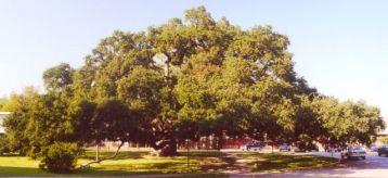st-john-oak
