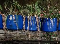 Water bucket plants outside the house