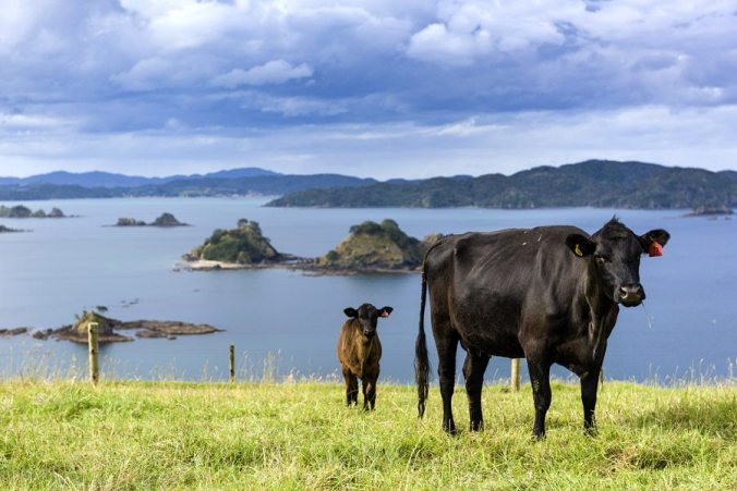 NZ cows Helena Bay