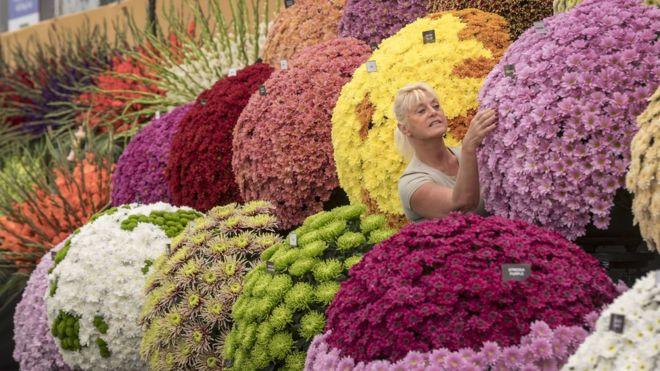 BBC chrysanthemums