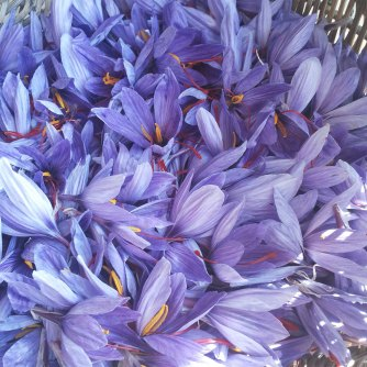 Crocuses with saffron (photo courtesy of Pura Crocus)