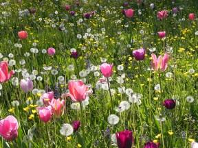 tulipani-e-soffioni-di-Taraxacum-a-Villa-Pisani