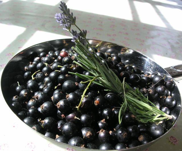 svartavinbär-lavendel_mellan