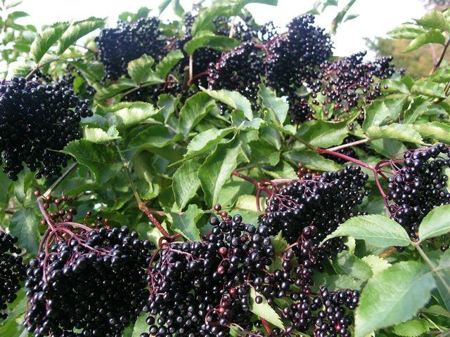 fläderbär-busken_mellan