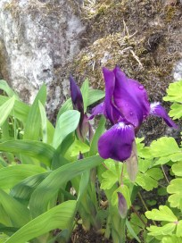Iris <3