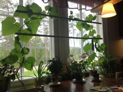 ..likaså alla gurkor vi får i köksfönstret under sommartid.