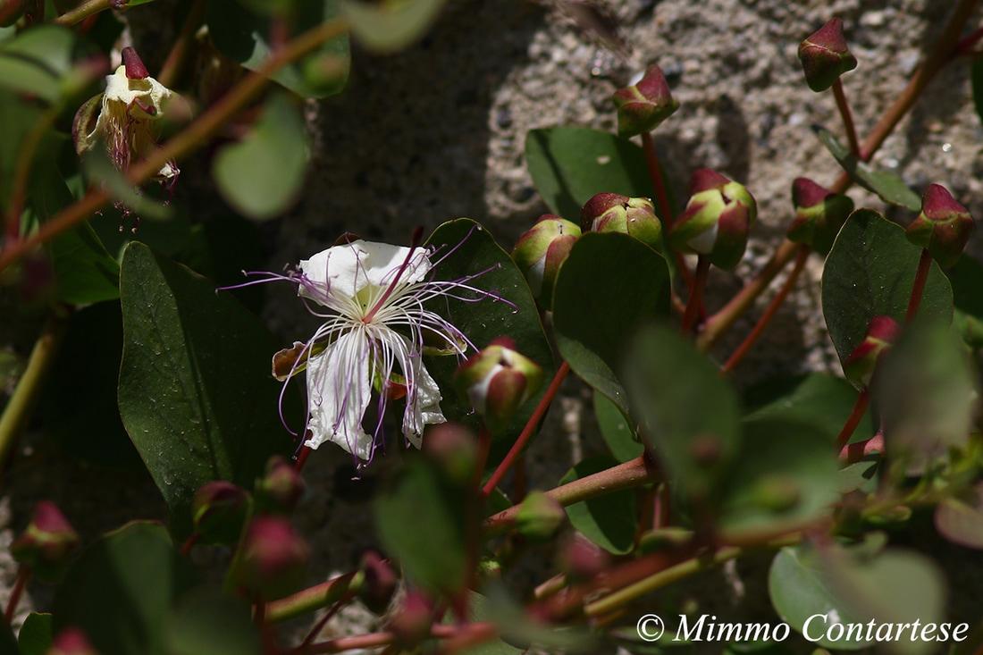 Cappero - Capparis spinosa L. 1753