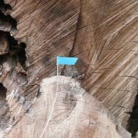 blauw vlaggetje op een oude boomstam_1