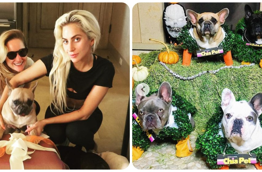 Fueron encontrados sanos y salvos los perritos que le fueron robados Lady Gaga