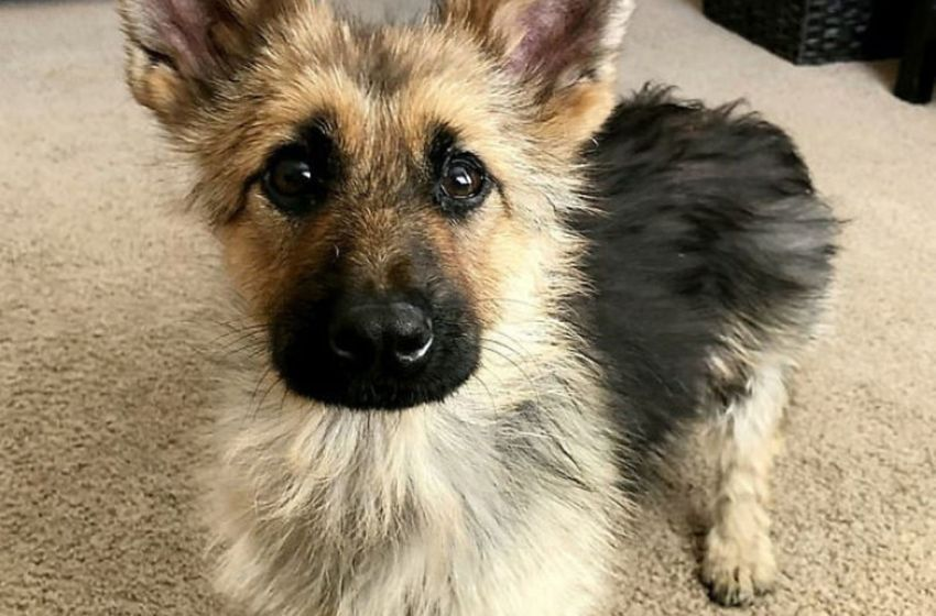 Conoce la historia de este perrito pastor alemán que sufre de enanismo