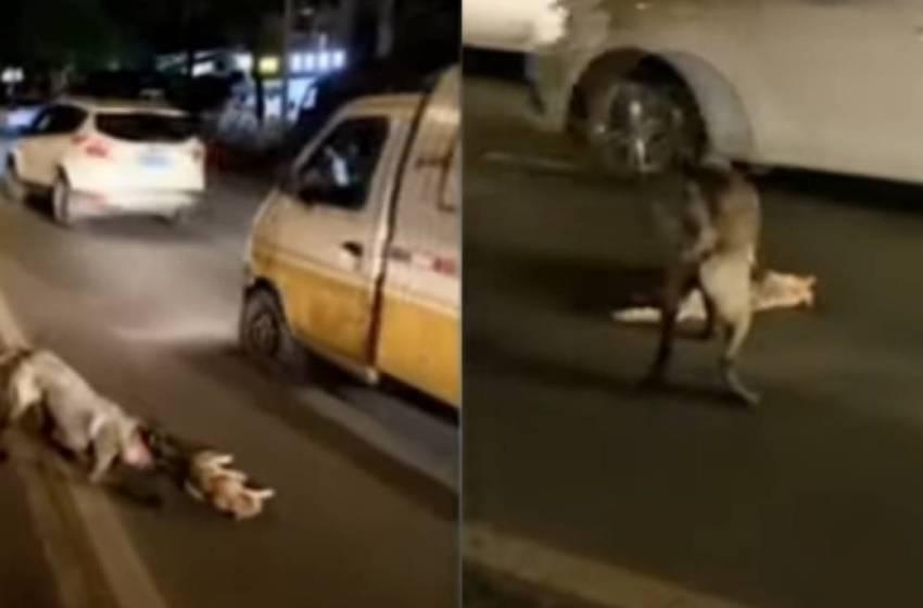 Perrito es captado intentando «revivir» y poner a salvo a gatito atropellado