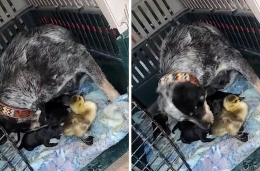 Video muestra a una amorosa perrita cuidar de un gansito como si fuera uno de sus crías y se hace viral