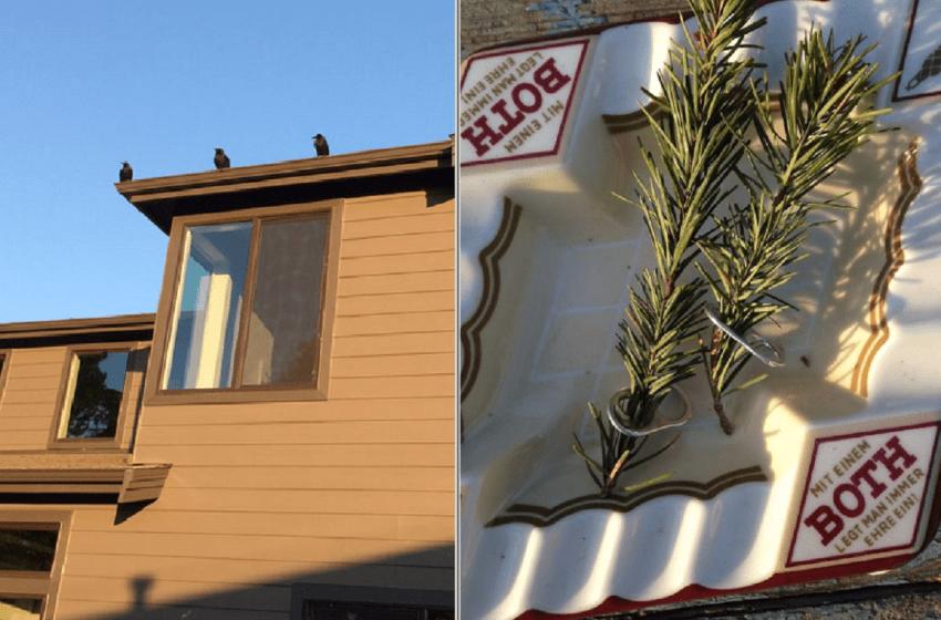 Una familia de cuervos le trae regalos a un hombre que los alimentó por años