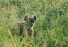 Hyena i morgondagg