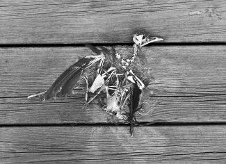 Förolyckad fågel som tyvärr kraschat in i glasräcket