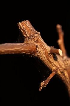 Spinnkvalster i grenvecket