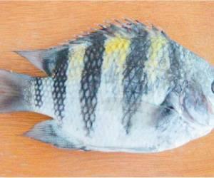 Ikan-Jorani