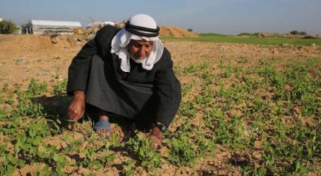 Semprotan Kimia Penjajah Israel Hancurkan Petani Gaza