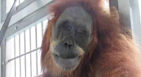 Remaja Pelaku Penganiayaan Orangutan Sumatra Diberi Sanksi Sosial