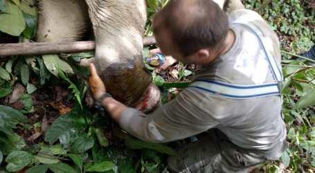BKSDA Aceh Berhasil Obati Gajah Liar Yang Kena Jerat