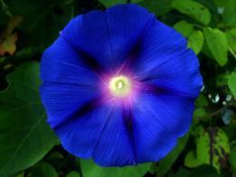 Ipomoea, blue bindweed