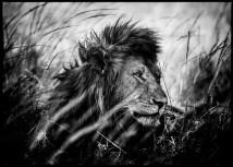 photo-lion-after-the-nap-laurent-baheux