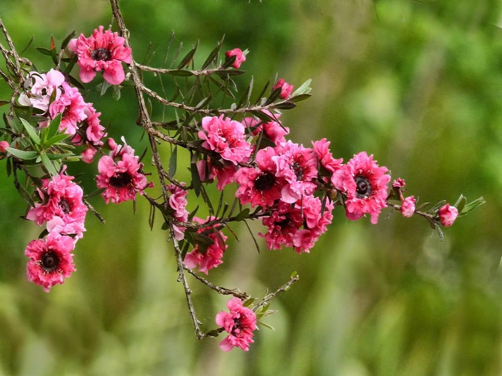 fleur de manuka