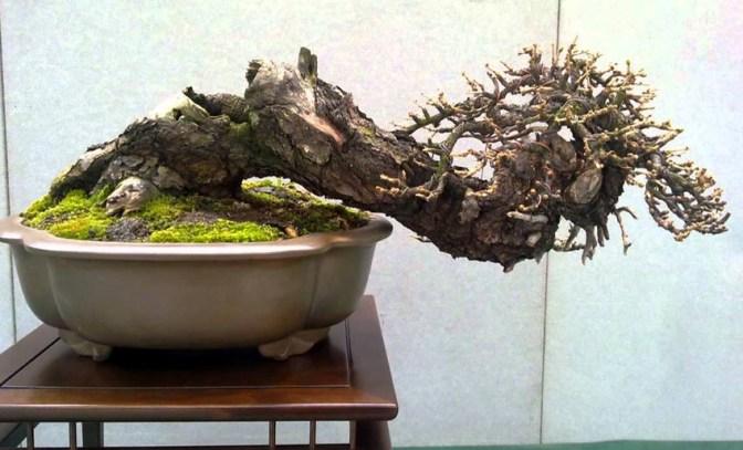 Gonzaga - mondo bonsai - foto di repertorio.1