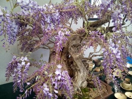 Gonzaga - mondo bonsai - foto di repertorio.2
