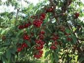 la-coltivazione-del-ciliegio_O1