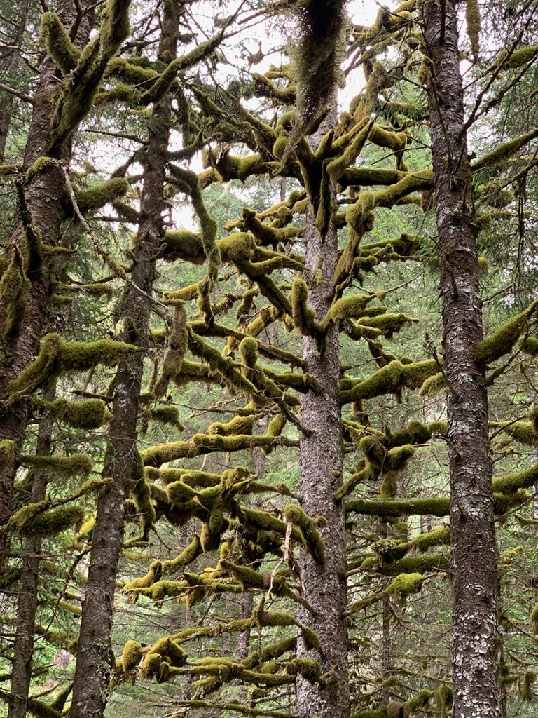 Moss growing on Sitka Pine trees