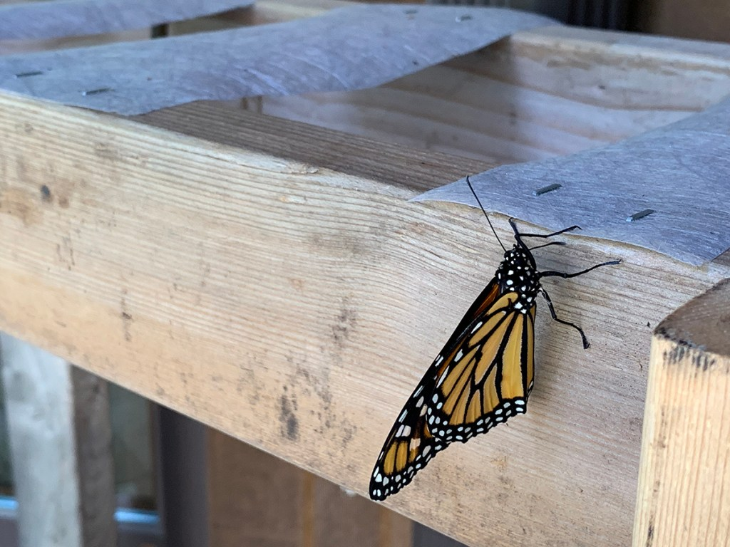 Black and orange monarch butterfly on wood beam