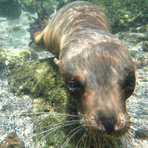 This curious sea lion was very interested in the little blue box (camera) I was holding